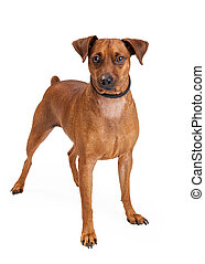 Miniature Pinscher Mix Breed Dog Standing - A Miniature...