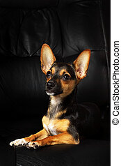 Miniature Pinscher on a black background