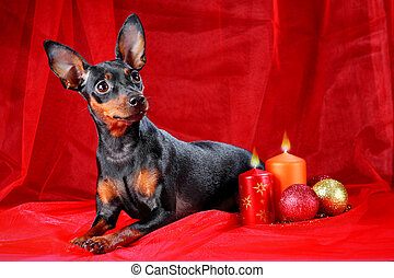 Miniature Pinscher on a red background. The Miniature...