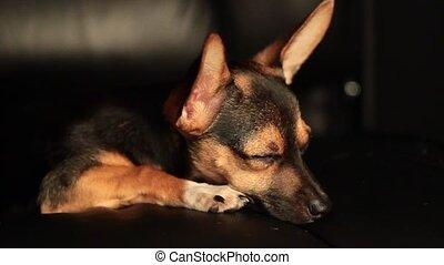 Miniature Pinscher resting
