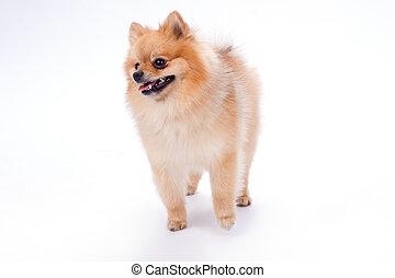 Miniature pomerenian spitz puppy.