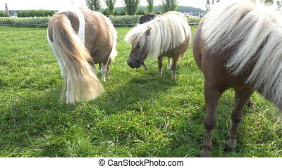 Miniature pony horse eating grass.