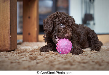 Miniature Poodle Puppy - A playful miniature poodle puppy ...
