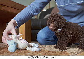 Miniature Poodle Puppy - A playful miniature poodle puppy ...