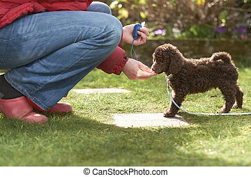 Miniature Poodle Puppy - Lead and clicker training for a ...