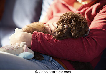 Miniature Poodle Puppy - A miniature poodle puppy Resting in...