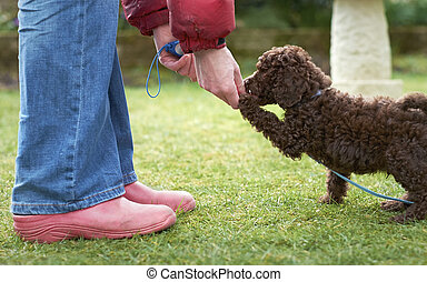 Miniature Poodle Puppy - Lead and clicker training for a...