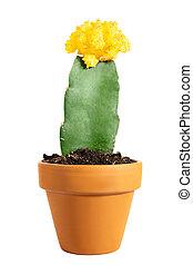 Miniature potted cactus Gymnocalycium mihanovichii or moon cactus isolated on white background