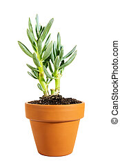 Miniature potted succulent Senecio serpens or blue chalksticks isolated on white background, home plant
