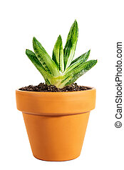 Miniature potted succulent stonecrops or Crassulaceae isolated on white background