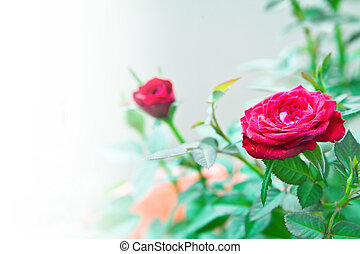 Miniature red roses background with space for text