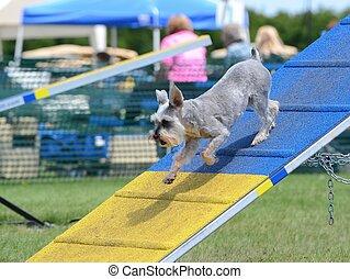Miniature Schnauzer at Dog Agility Trial - Miniature...