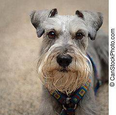 Miniature schnauzer dog close up portrait