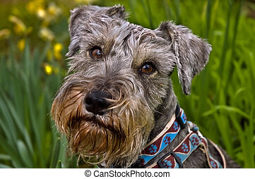 Miniature schnauzer dog outdoors in the springtime