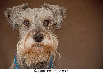 Miniature schnauzer dog portrait