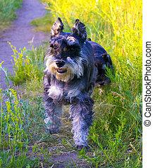 Miniature Schnauzer dogs. Portrait of a young miniature schnauzer