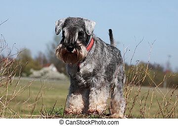 miniature schnauzer in the park during sunny day