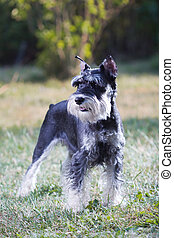 Miniature Schnauzer - Portrait of a young miniature ...
