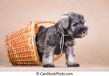 Miniature schnauzer puppy crawls out of the basket