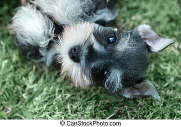 Miniature Schnauzer Puppy Outdoors - Adorable Miniature...