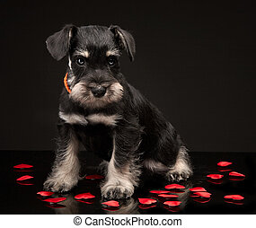 Miniature schnauzer puppy and red decorative hearts
