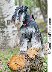Miniature schnauzer sitting on stump