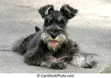 Miniature Schnauzer lying down on cement pavement