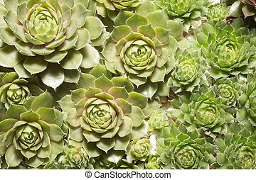 miniature succulent plants close up