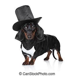 miniature, teckel, gilet, chapeau, noir