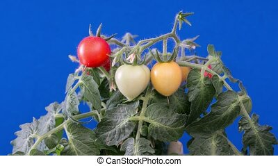 Miniature tomatoes on a blue background