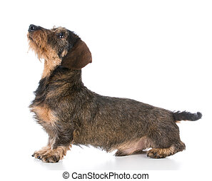 miniature wirehaired dachshund looking up on white background