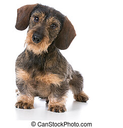 miniature wirehaired dachshund sitting on white background