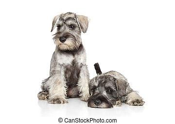 miniaturschnauzer, hundebabys, weiß, hintergrund
