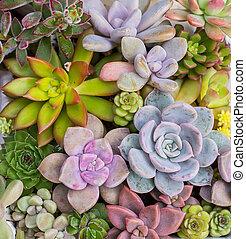 miniatyr, saftig, planterar