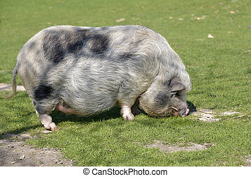 Minipig on grass