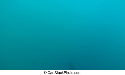 Minke whale (Balaenoptera acutorostrata) swimming underwater...
