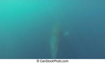 Minke whale swimming underwater in Antarctica