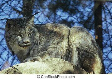 Minnesota Lynx Portrait