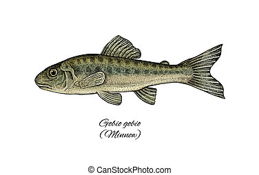 minnows clipart and stock illustrations 483 minnows vector eps rh canstockphoto com Minnow Clip Art Black and White Fish Clip Art