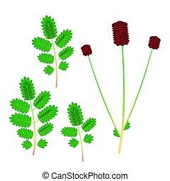 minore, botanico, burnet., illustrazione, sanguisorba,...