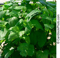 mint bush with green leaves growing in the garden