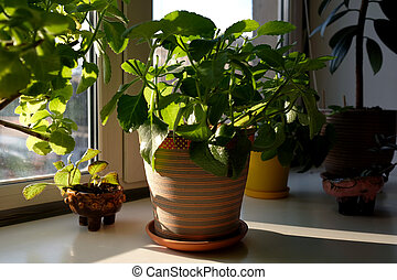Mint grows at home. Mentha in a clay pot. Plants on the windowsill