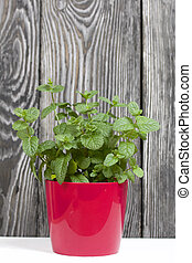 Mint grows in a pot. Against the background of brushed pine boards painted in black and white.
