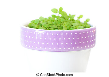 mint in a pot isolated on white