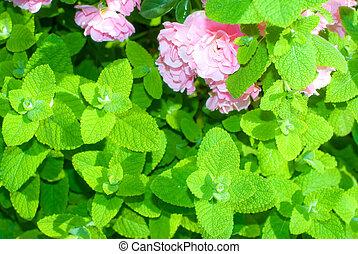 Mint leaf and rose - Apple mint leaf and pink rose flowers