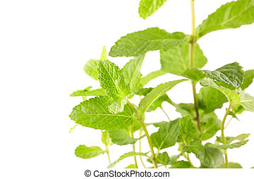 mint leaf on white background