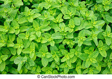Green mint leaves close-up background