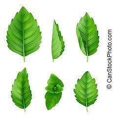 Mint leaves realistic. Closeup spearmint nature herbs fresh smell vector green pictures