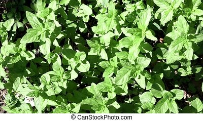 Mint leaves top view. plant Organic agriculture. Herb plant ...