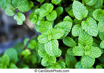 mint, lemon balm, marsh mint, mentha, metha cordifolia